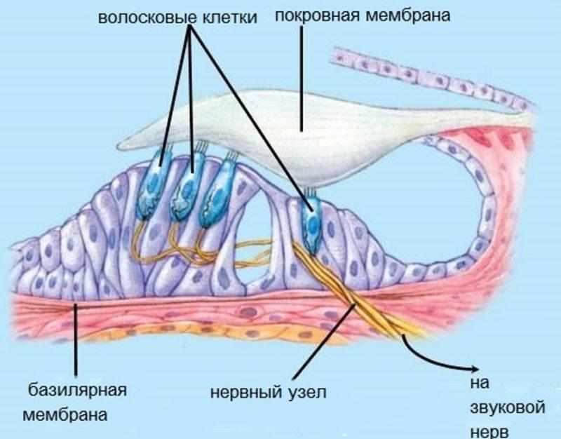 ушная улитка