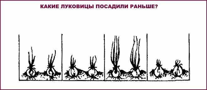 Какие луковицы посадили раньше