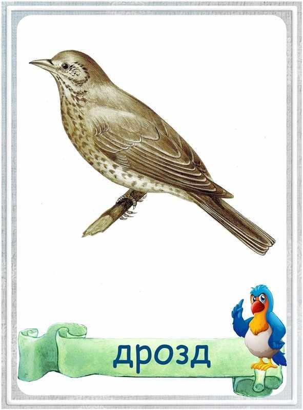 Карточка Дрозд