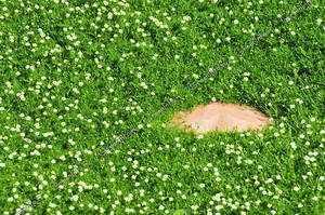 Шиловидная мшанка - очень красиво смотрится на газоне