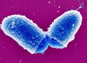 Бактерия, вызывающая дифтерию