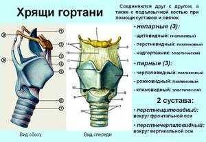 Название мышц гортани
