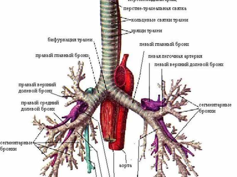 Как устроена дыхательная система в организме